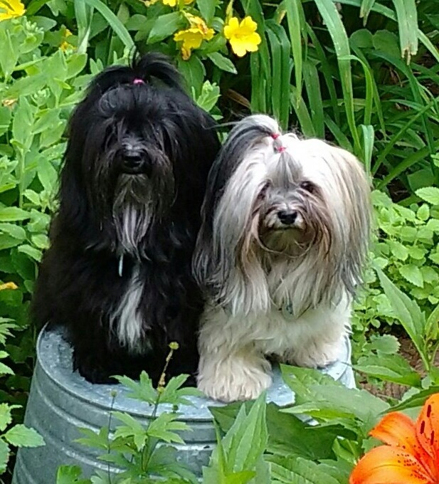 Beautiful Havanese
