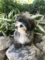 Havanese in Michigan